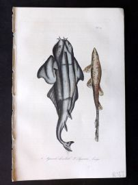 Lacepede 1840 Hand Col Fish Print. Sharks 27